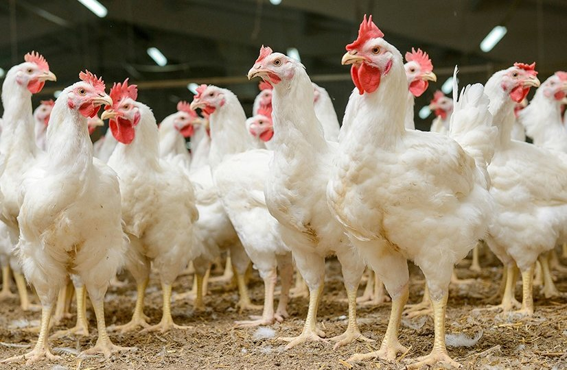 Chicken-sales-continue-to-rise-as-world-demand-grows-2