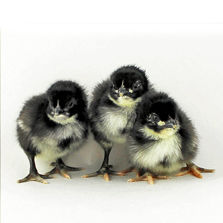 BlackOrpingtonchicks