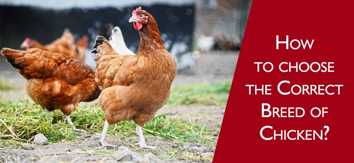 How to choose the correct breed of chicken